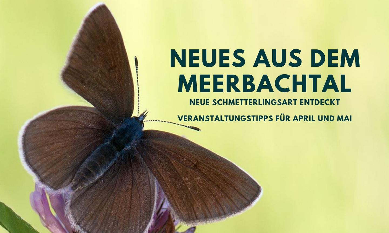 Neues aus dem Meerbachtal – Neue Schmetterlingsart entdeckt & Veranstaltungstipps für April und Mai